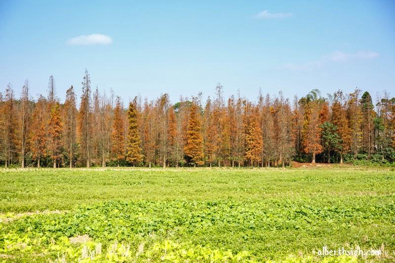 楊梅落羽松祕境.桃園景點