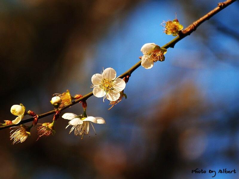 【梅花】桃園復興.角板山公園(初拍梅花) @愛伯特吃喝玩樂全記錄