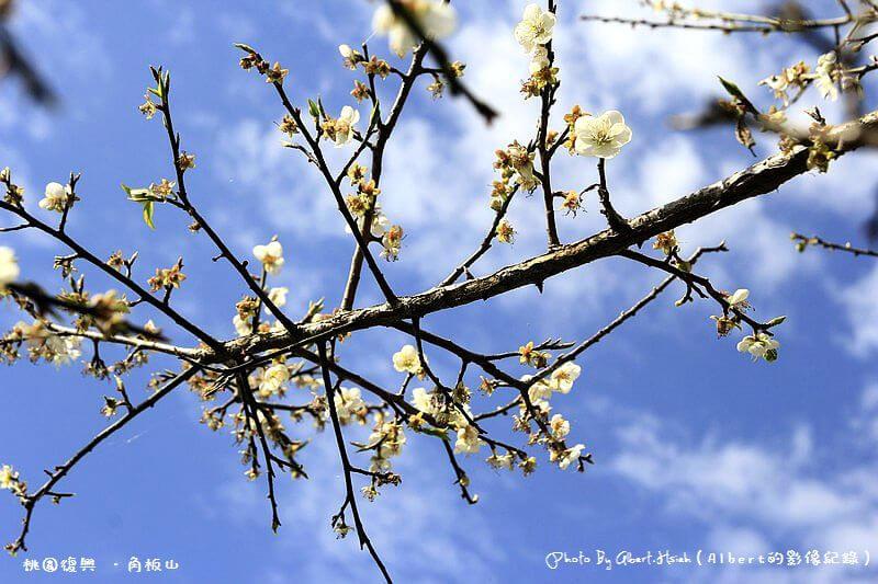【梅花】桃園復興.角板山(藍天搭配梅花令人放鬆的景色) @愛伯特吃喝玩樂全記錄