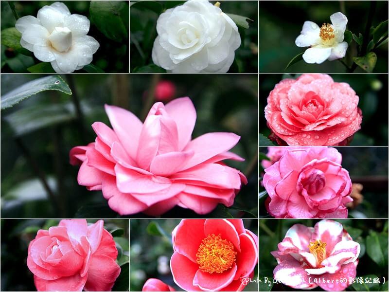 【茶花】桃園大溪.大溪茶花園(各式各樣的美麗茶花) @愛伯特吃喝玩樂全記錄