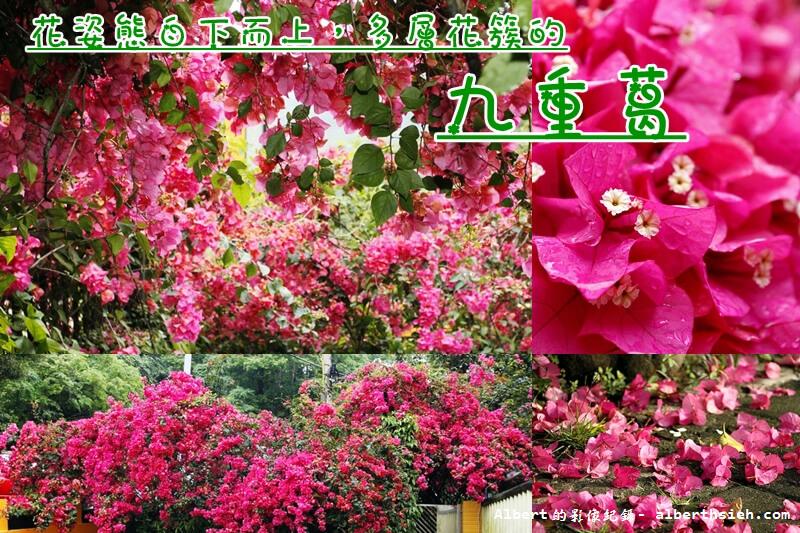 【三角梅】紫茉莉科.九重葛(熱情洋溢的姿態,繁花茂盛的豔麗花朵) @愛伯特吃喝玩樂全記錄