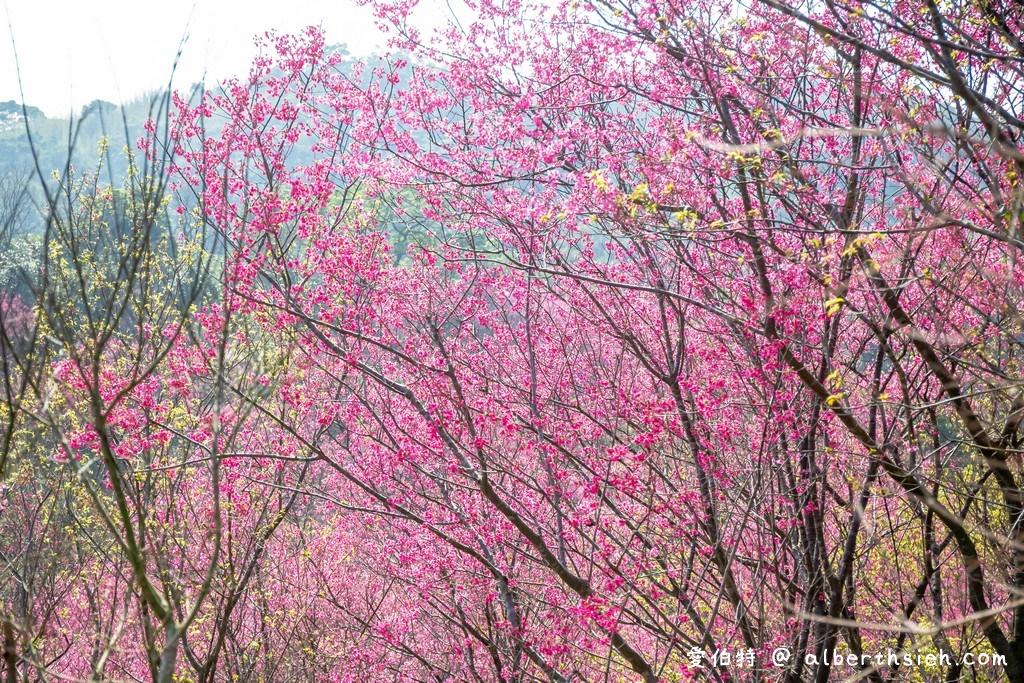 桃園賞櫻景點推薦.楊梅秀才步道櫻花林