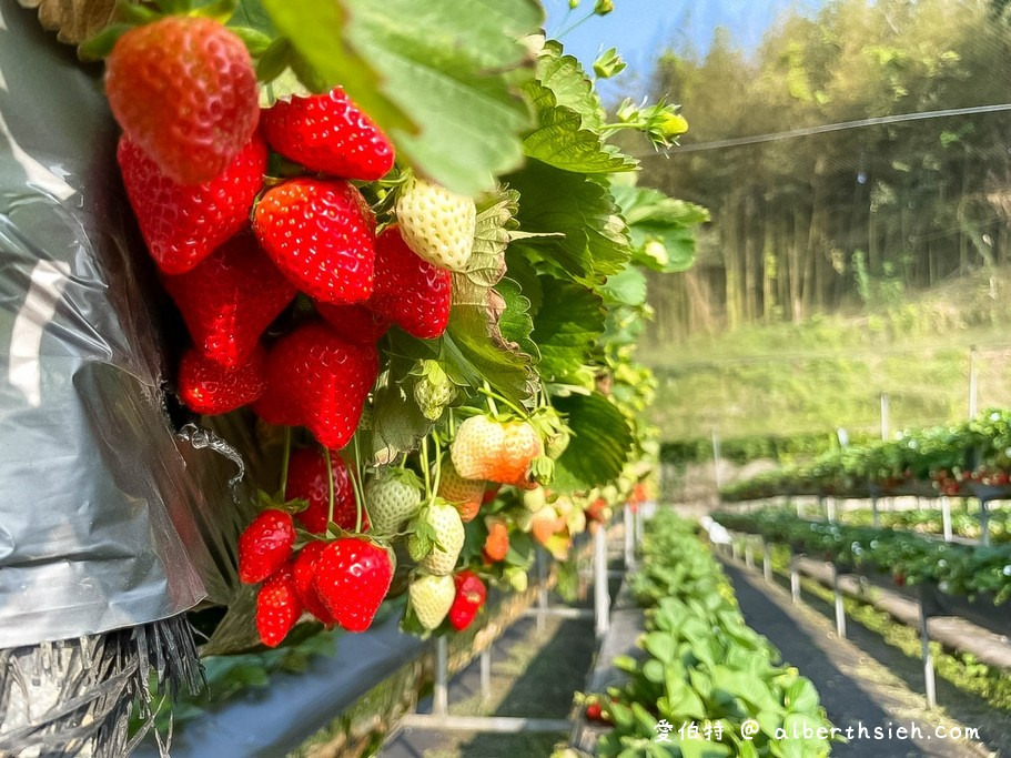 苗栗大湖採草莓.雙坑高架草莓園