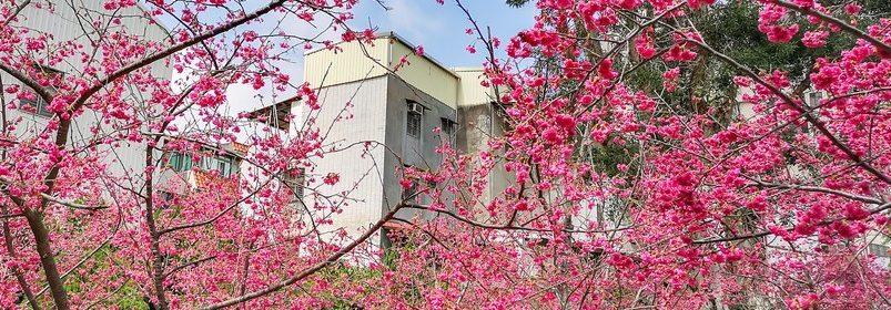 莒光公園.中壢賞櫻景點