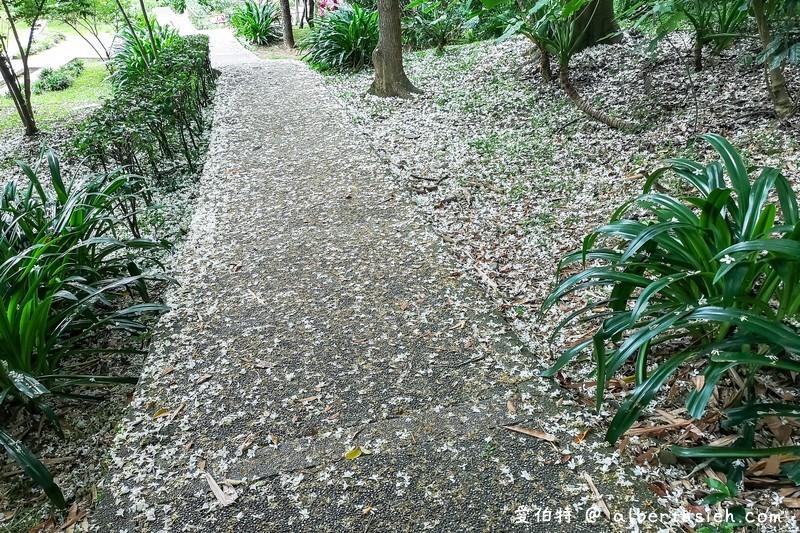虎頭山公園油桐花