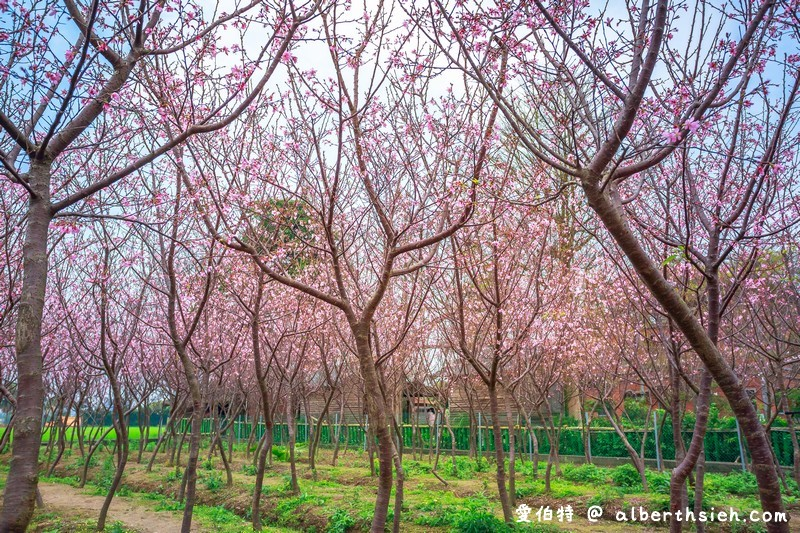 桃園平鎮景點.福龍路櫻花林
