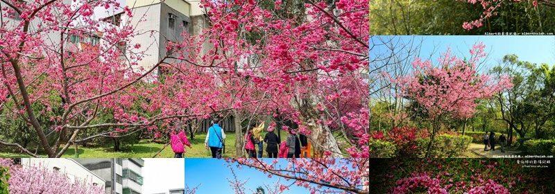 大桃園櫻花賞櫻景點