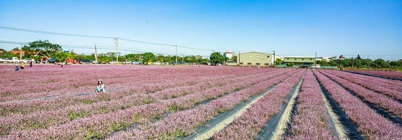 桃園花彩節楊梅場。紫爆的仙草花海