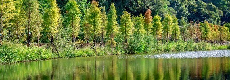 桃園落羽松。大溪月眉人工濕地